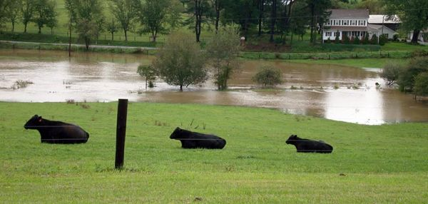 cows safe on high ground from tropical storm Lee