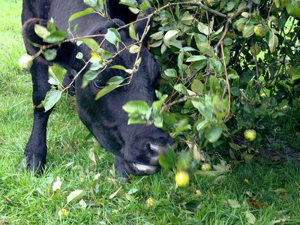 cow eating apples from fallen tree