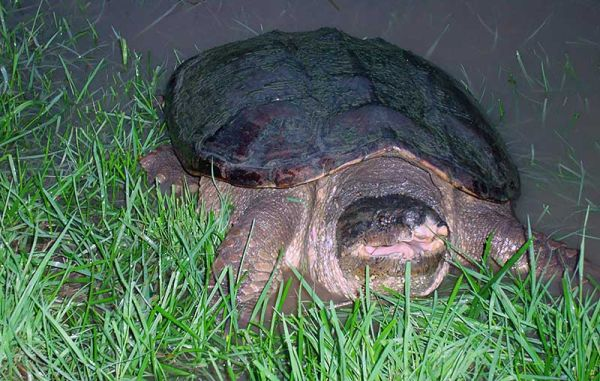 Snapping turtle in flood pool