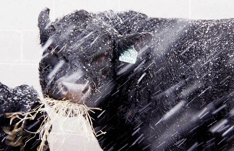Young Angus Bull in Snow Storm