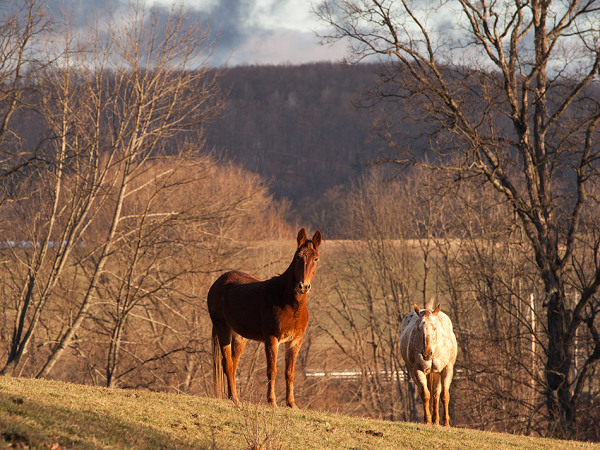 The mule and the Appaloosa