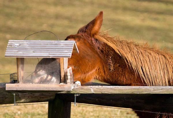 Mule eating bird seed