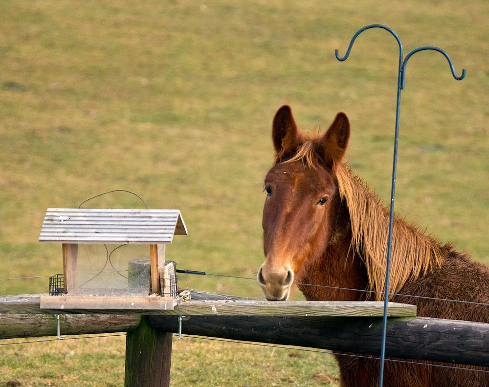 Mule at bird feeder