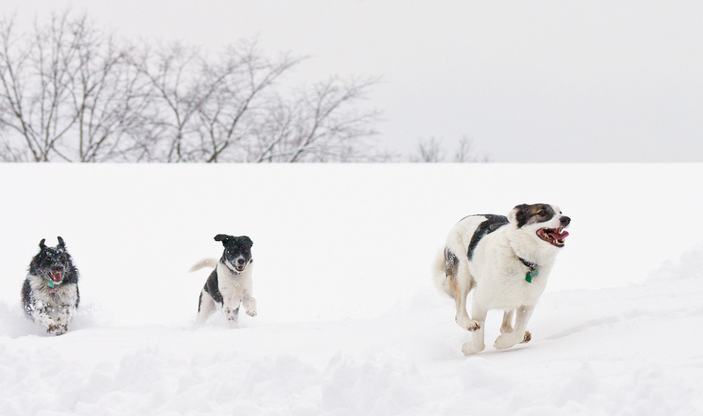 Dogs racing in the snow