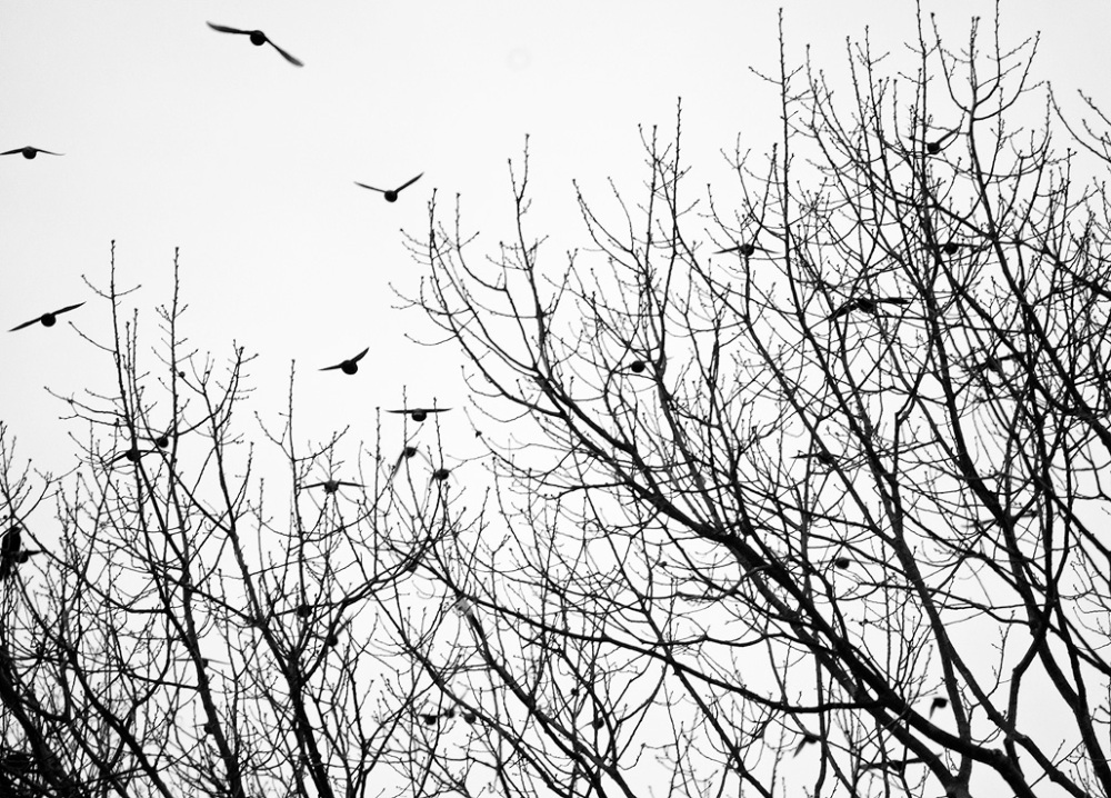 Starlings fly away