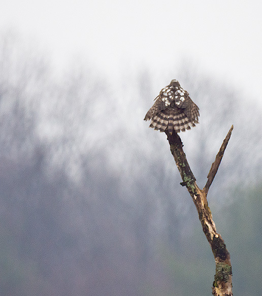 Juvenile Sharp Shinned Hawk drying feathers