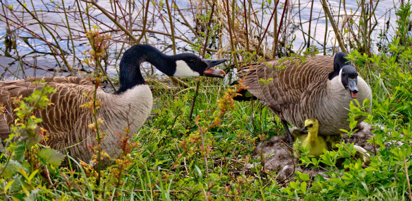 Gander and Goose Protect Newly Hatched Gosling