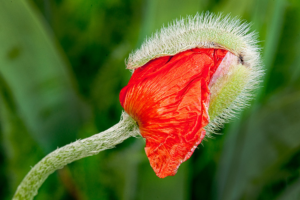 Emerging Poppy flower