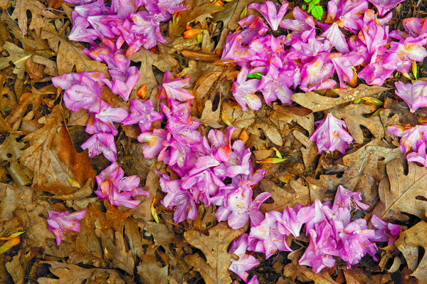 Oak Leaves and Rhododendron Petals