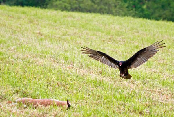 Vulture Approaching Dead Deer