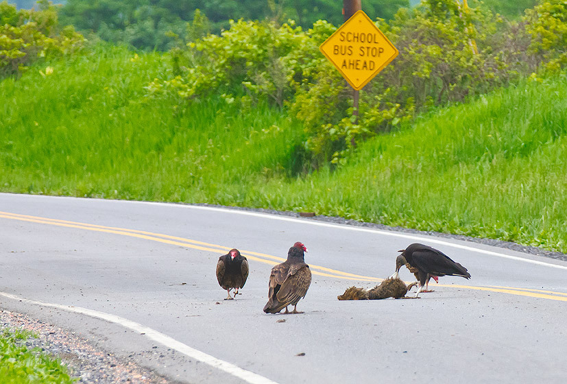 Vultures on the Road