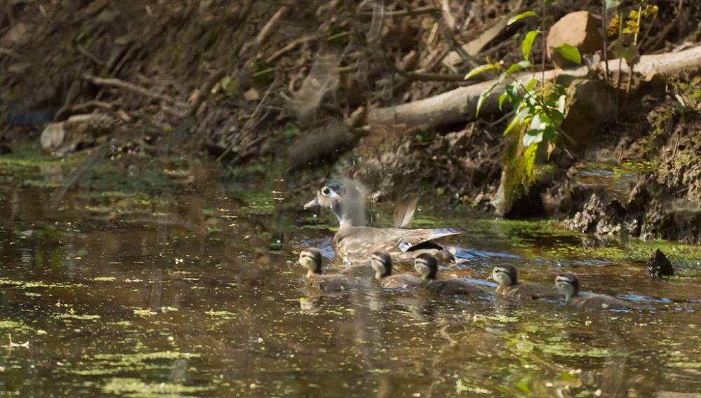 Wood Duck Hen and Five Ducklings