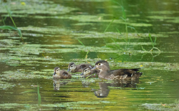 Wood Duck Hen and Three Ducklings