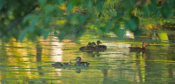 Wood Ducks and Mallards