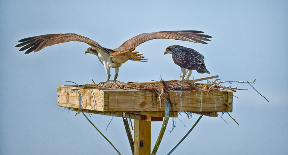 Ospreys on Nest