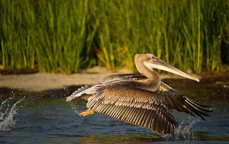 Pelican Chick Taking Off