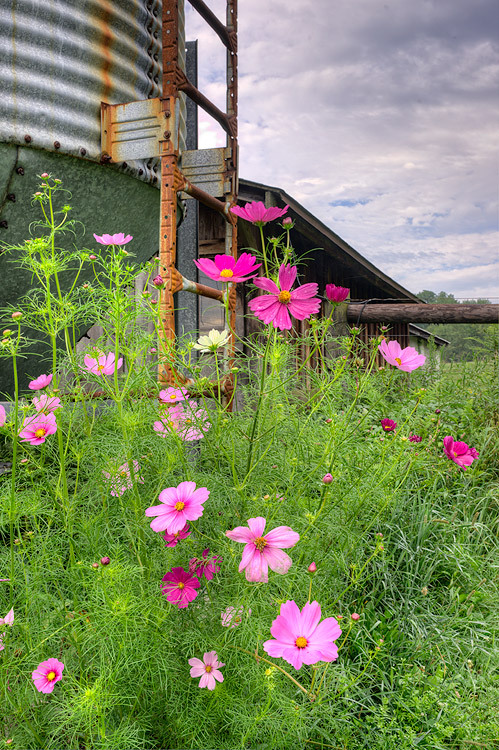 Cosmos on a Cloudy Morning