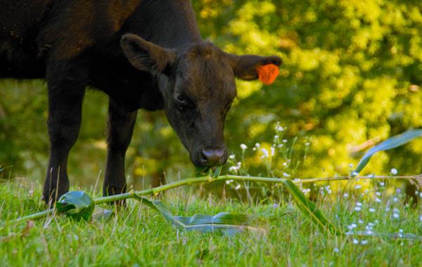 Angus Calf Eating Corn Stalks