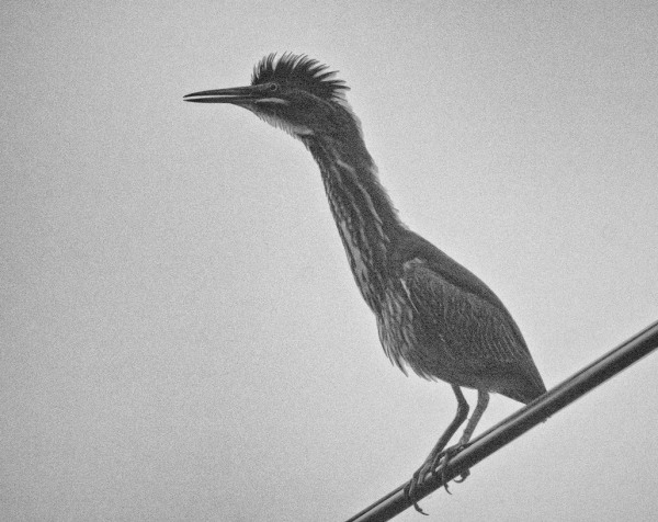 Juvenile Green Heron in Black and White