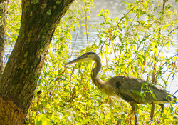 Great Blue Heron, Great Falls, Virginia