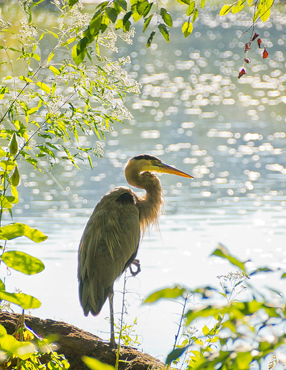 Great Blue Heron, Great Falls, Virginia