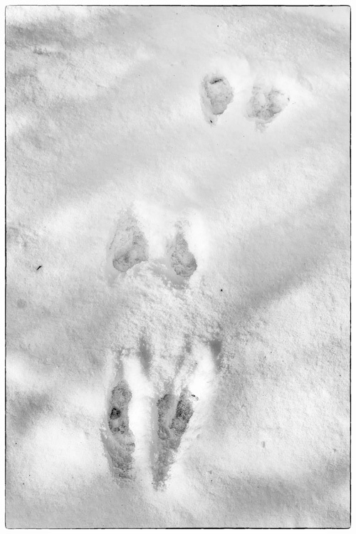Robbit Tracks in the Snow