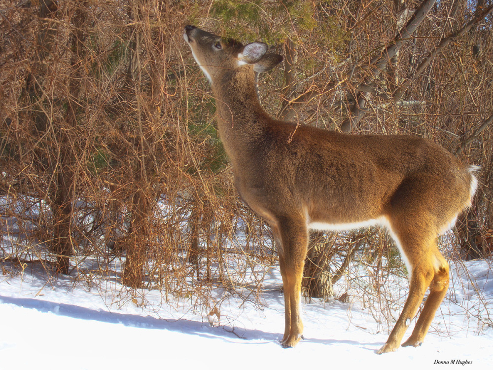 White-Tailed Deer Browsing