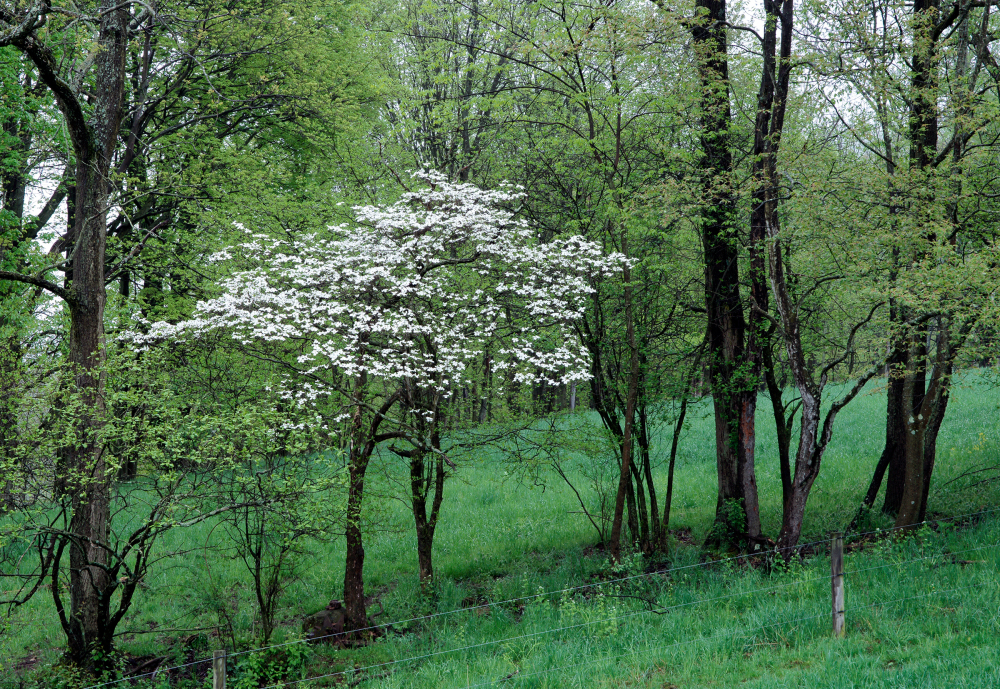 Dogwood in the Fence Row