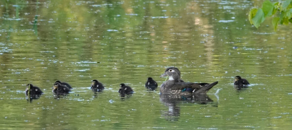"Wood Duck Hen and Her Brood on ""Jump Day"""