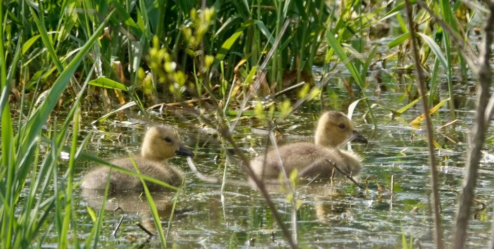 goose goslings, Walnut Hill Farm