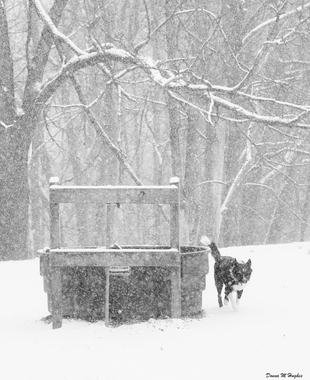 Henry by the Watering Trough in a Snow Storm