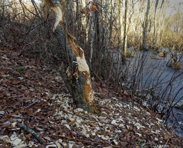 Beaver Activity, Chipuxet River