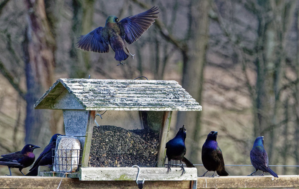 Grackles at the Feeder