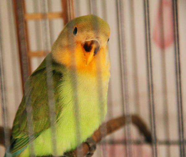 Pipy the lovebird