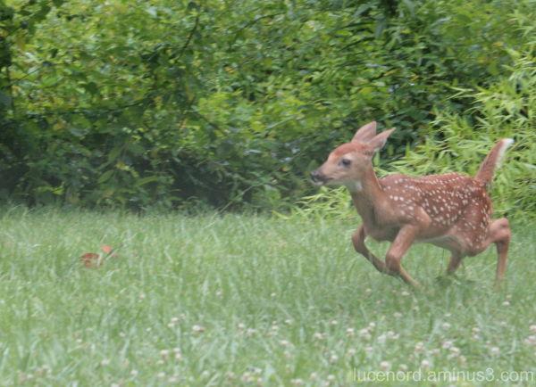 Whitetail Deer fawn running