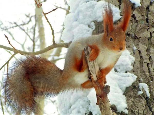 سنجاب گوش دراز