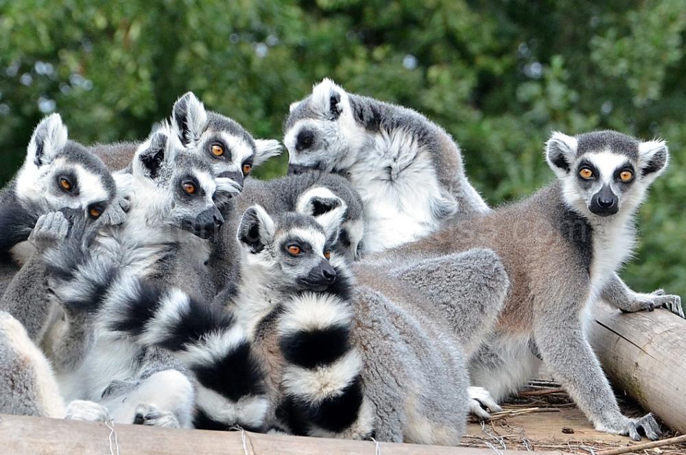 Lémuriens en famille