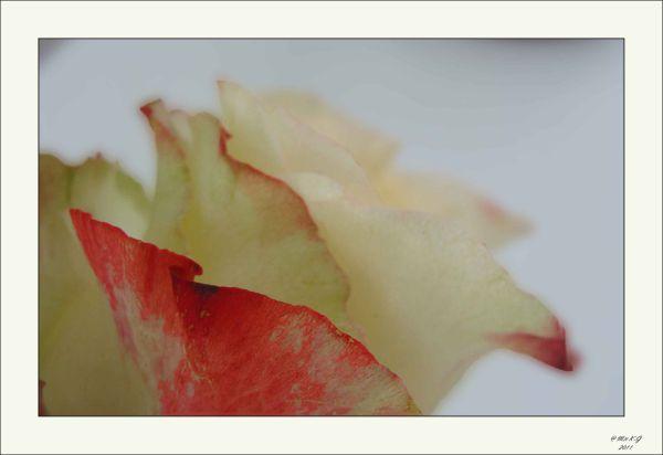 Een roos voor de jongste spruit (2)