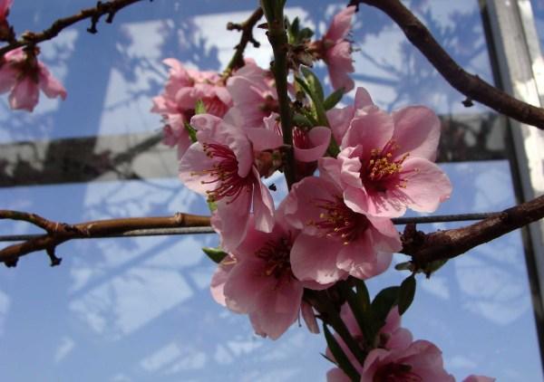 Nectarine bloesem deel : 3/3
