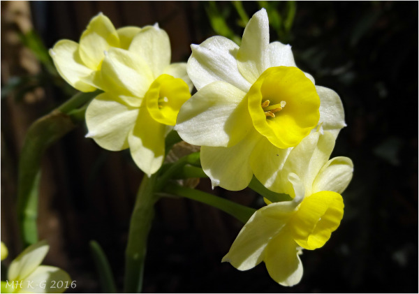 My garden 1 : Mini-narcisjes