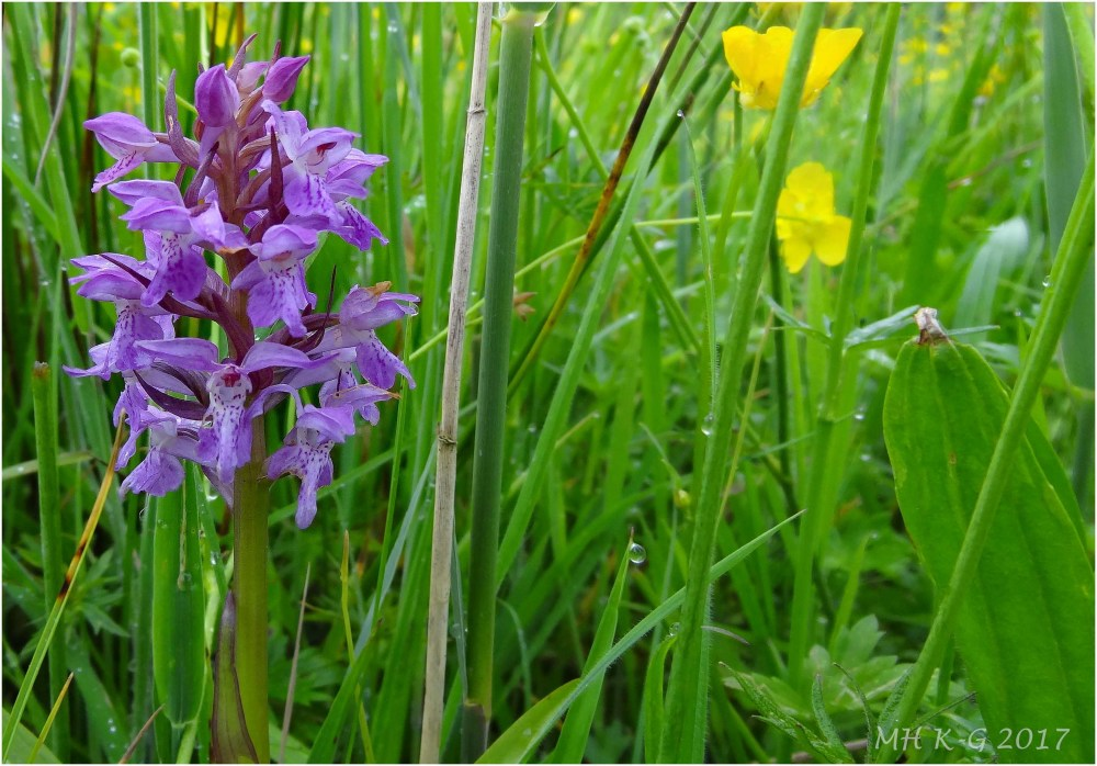 Orchids in the dunes : 1/2