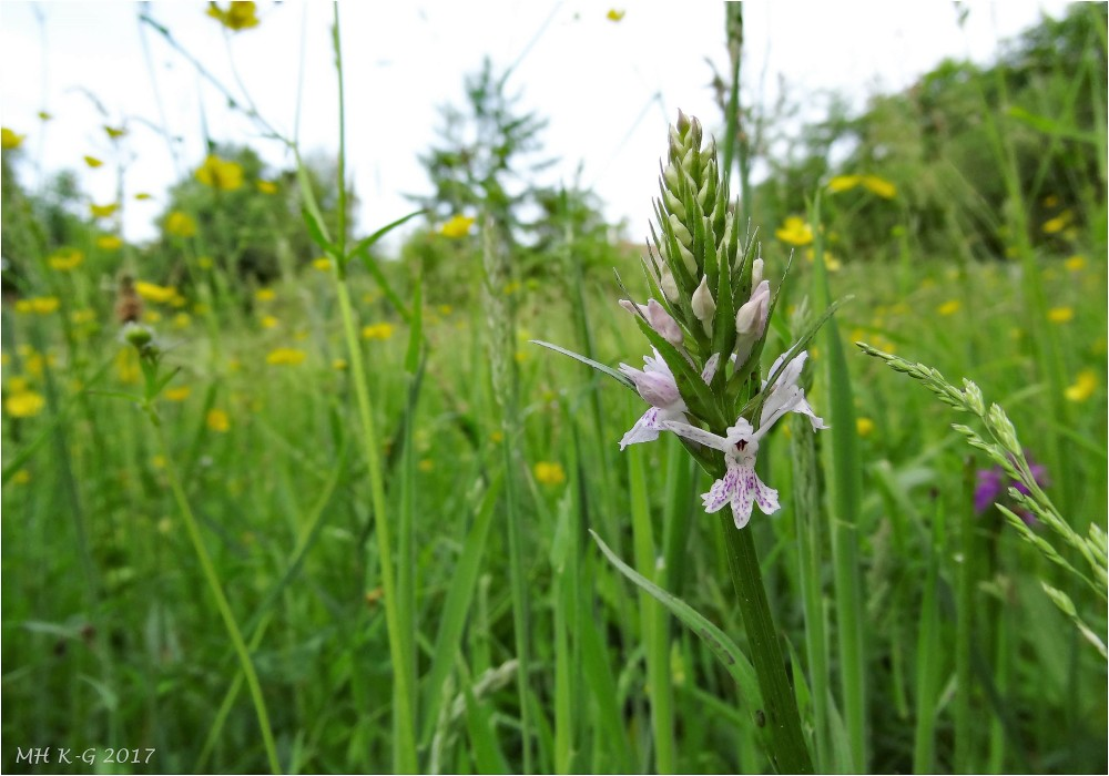 Orchids in the dunes : 2/2
