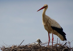 My questfotographer Elly (4): Storks