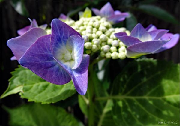 Hortensia/Hydrangea