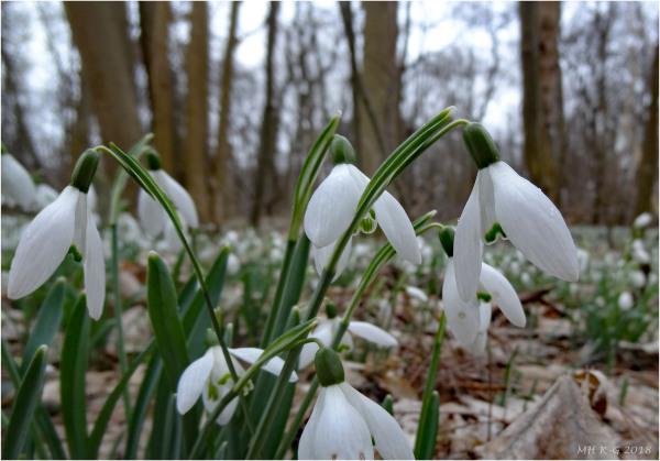 Snowdrops : 1/2