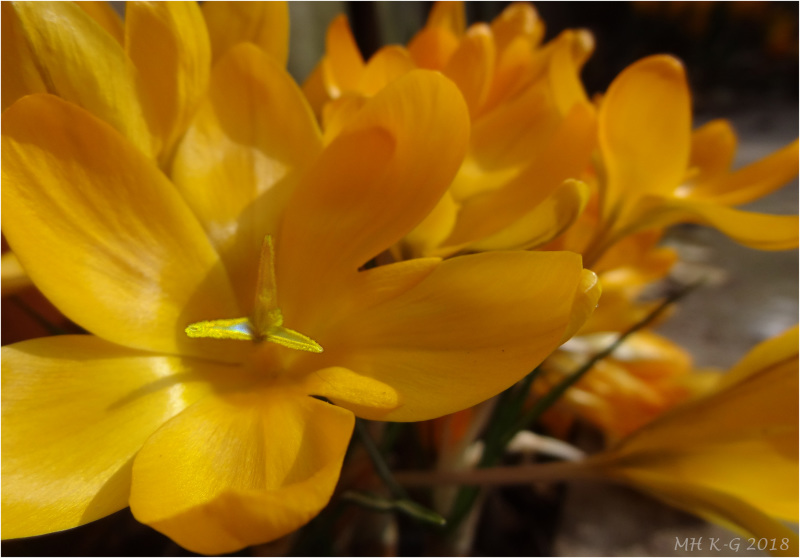 The end of the crocus-time