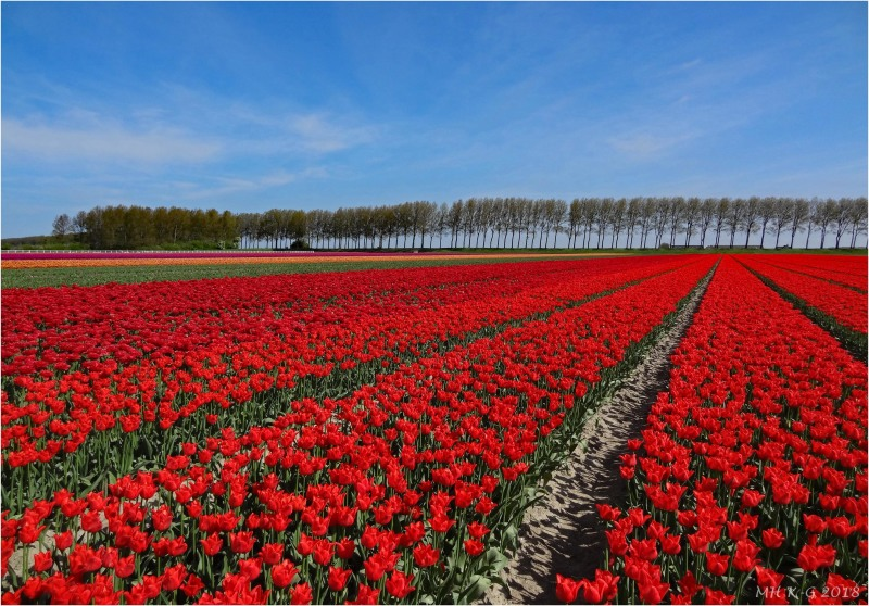 Tulipfields : 1/3