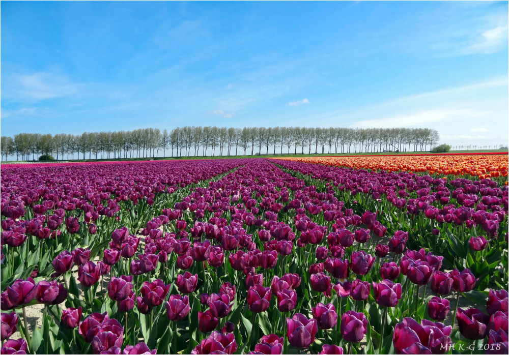 Tulipfields : 2/3