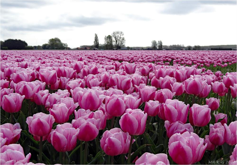 Tulipfields : 3/3