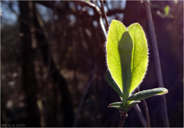 Young leaf ?